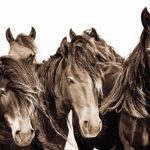 The Wild Horses of Sable Island