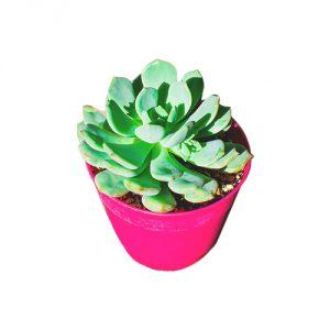 Pachyveria-Moon-Glow-Plant